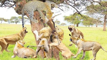 一只花豹挑战狮群,本以为大战一触即发,狮群:这哥们吃错药了?