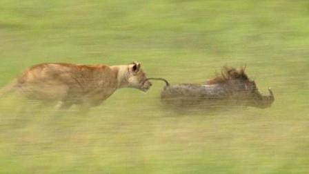 疣猪和狮子对峙,面对狮子毫不退让,不料又来了一只狮子!
