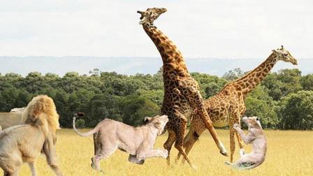 长颈鹿被狮子追捕,一个动作将其反杀,镜头记录狮子悲惨一幕