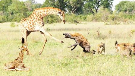 长颈鹿母子在野外找吃的,鬣狗群迅速上演掏肛绝技,太残忍!