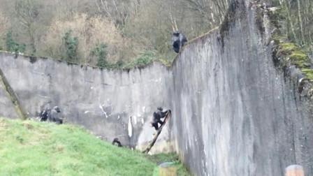 这是猩球崛起?动物园一群猩猩上演集体大逃亡,用树枝当做梯子