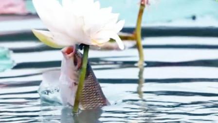 这些鱼天天盯着荷花吃,莫不是已经参透了鱼生,准备修炼?
