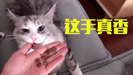 缅因猫的智商到底有多高?肉摆在眼前却吃不到!女主人笑疯了!