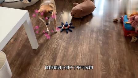 戏精高度复原柴犬咖啡厅一日游#激萌奖金决策#