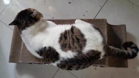 猫咪自己动手把抓板翻过来躺上面聪明吧?快夸我!不许乱摸…