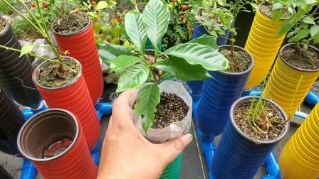 不用浇水不用施肥,可以种菜可以种花,庭院鱼菜共生栀子花定植