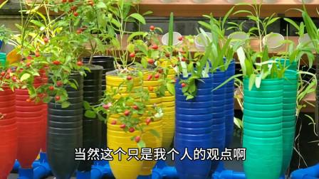 新系统新玩法,人参果也能种,庭院鱼菜共生系统新品种
