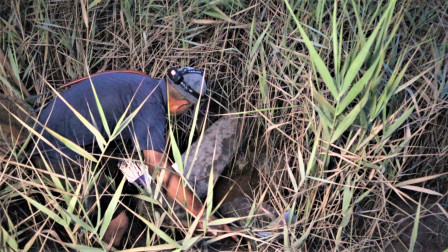 一米高的芦苇丛里全是蟹洞,泰叔等傍晚去抓,石头下螃蟹躲的最多