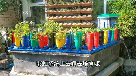 能种花能种菜还能育苗,不浇水不施肥,鱼菜共生彩虹系统番茄育苗