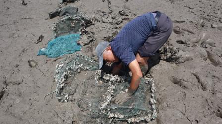 泰叔在滩涂发现废弃网笼,发现痕迹伸手摸还真有货,今晚有口福了
