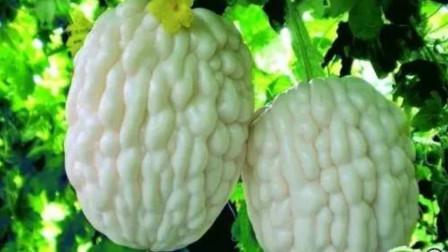 农民种白苦瓜,每斤5元亩产万斤,供不应求怎么做到的呢?