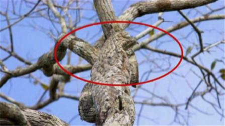 """大自然中最""""辛酸""""的鸟,一出生就装成""""树"""",一装就是一辈子"""