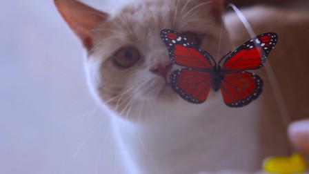 猫咪第一次见到电动蝴蝶,会发生什么?猫:一口吃掉!