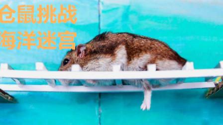 呆萌仓鼠挑战海洋迷宫,迷宫里都是海底生物,最后仓鼠的行为尴尬了