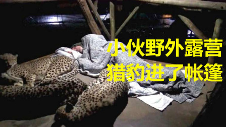 国外男子在野外露营休息,猎豹突然爬了进来,意外的事发生了