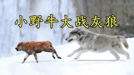 落单小牛大战灰狼,本以为它必死无疑,结局却让人刮目相看