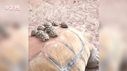 可爱萌宠系列短片!龟妈妈驮着龟宝宝们太可爱了