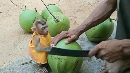 主人在猴子旁边切割椰子,这害怕的样子,动作太好笑了吧