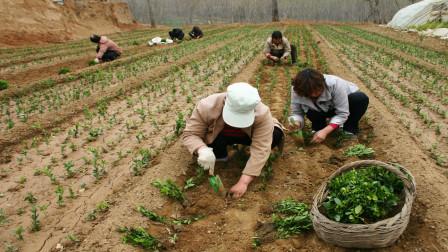 """这种""""国民坚果""""种一亩,亏5百,种植户:再种我是你养的!"""