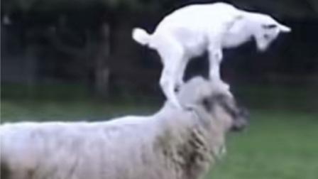 小羊最喜欢的游戏