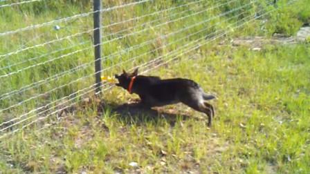 狗子不小心碰到高压电,它的反应开始变的不正常?网友:电傻了吧