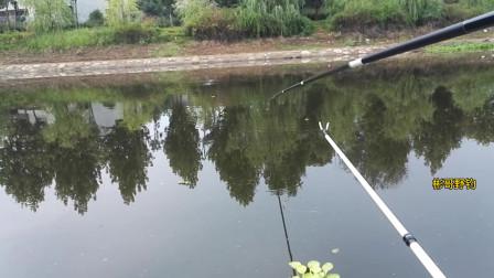 有水的地方就想抛两竿,被人钓烂的钓点,没想到鱼口还这么猛
