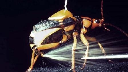 """扛着""""化学炮""""的昆虫,放个屁温度高达100度,为什么没烫自己"""