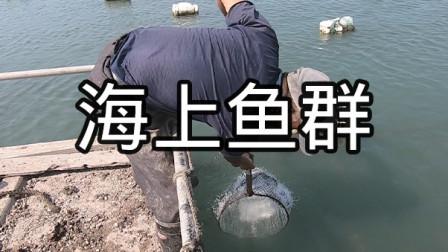 浮球上生满了海奶,拿来当诱饵引来鱼群抢食,泰叔一网捞起十多条