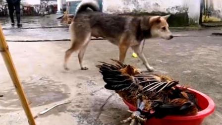 四川方言搞笑配音:动物说重庆话太有灵魂!这小狗居然打不过公鸡