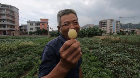 泰叔在地里收获金瓜,渔村邻居说都没见过,破开吃一下再看