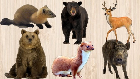 认识黄鼠狼、棕熊等6种森林动物,乐宝识动物