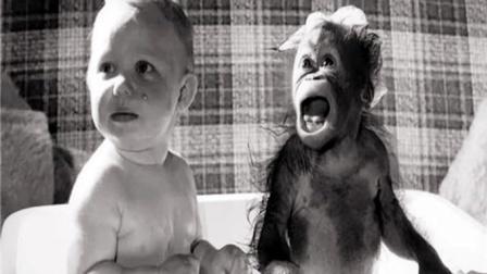猩猩和婴儿一起生活,长大会成人类吗?美专家实验9个月后停止!