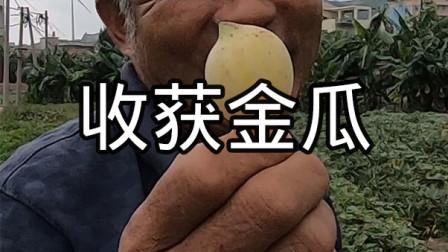 泰叔在地里收获金瓜,渔村邻居都说没见过,破开吃一下再看