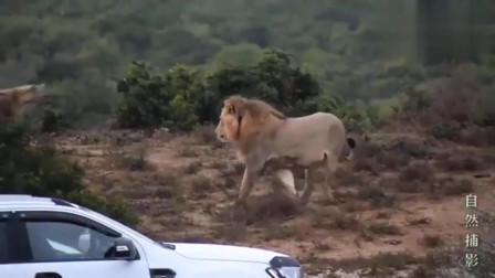 大自然:饥饿困扰着鬣狗群,与狮子冲突不可避免