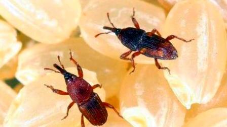 大米里面为什么会生虫?生虫的米还能吃吗?网友:头皮发麻