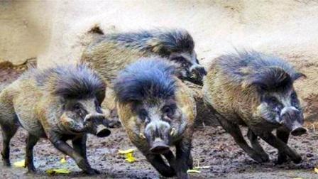 美国的野猪泛滥成灾,为什么就是不吃呢?美网友:吃不起!