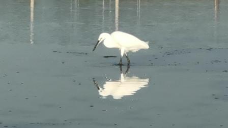 """鸽子窝被誉为""""观鸟的麦加"""",来看看白鹭怎么在湿地找食物"""