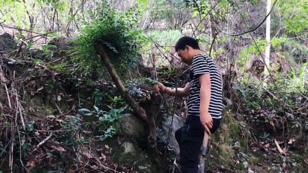 古道旁发现这个老树根,朋友说能卖800百,发财了
