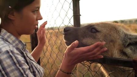 大自然:如果是别的生物把手放在鬣狗嘴里,估计连渣都不剩了