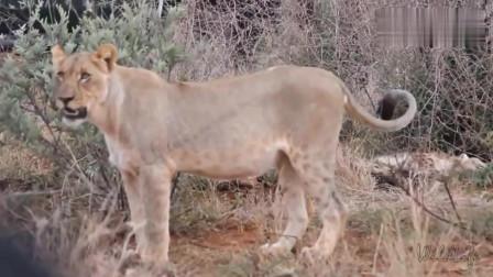 大自然:是鬣狗的生命力太顽强还是雄狮杀伤力太菜