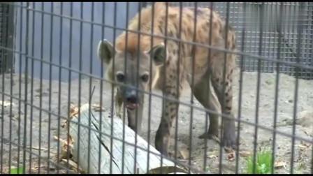 大自然:为什么鬣狗咬合力这么强,看看它平时是怎么锻炼的就知道了