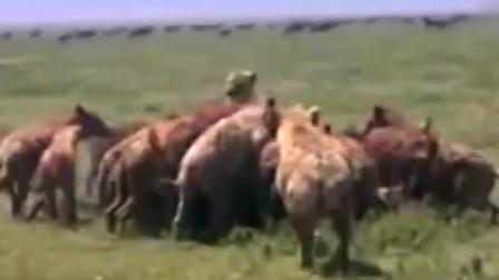 大自然:遇到这么多数量的鬣狗,雄狮也招架不住啊