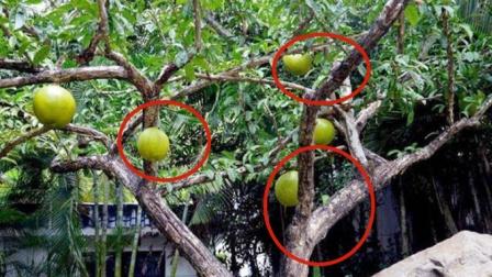 """世界上最神奇的树,全身挂着""""手榴弹"""",鸟类遇见难逃一死?"""