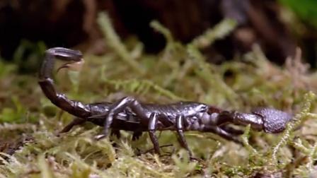 世界上最大的蝎子,非洲帝王蝎