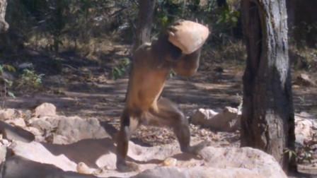 黑帽悬猴的餐桌餐具,是这样的,它们记录了动物与自然斗争的痕迹