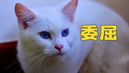小猫咪第一次寄养,就霸占7只猫的房间,猫:赶出去!