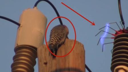 高压电的威力到底有多强?镜头记录啄木鸟的下场!