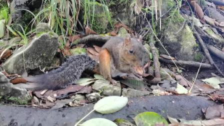 近距离实拍松鼠进食,嘴跟机关枪似的