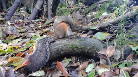 张家界上偶遇松鼠,近距离看松鼠吃东西,嘴太快了