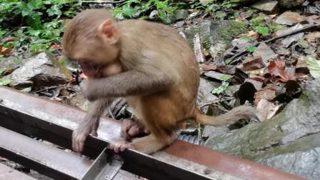 猴子母子一起用餐,妈妈吃水果,小猴吃奶